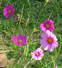 cosmos flowers photo by V. Coskrey